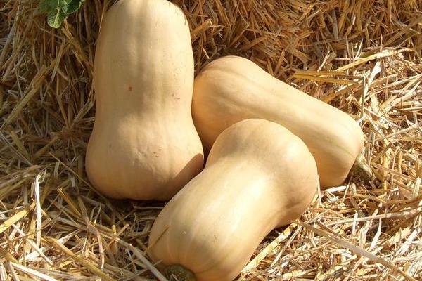 Butternut Early